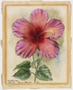 """Seedling no. 1, Hibiscus """"George Harwood"""", 1902 / drawn by M. F"""
